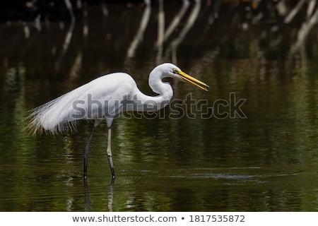 скота · белый · Постоянный · природы · области · птица - Сток-фото © rhamm