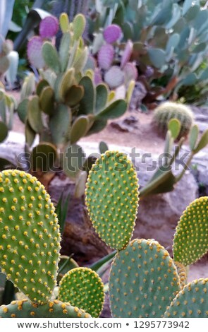 green cactus with many small prickly pears fruits  Stock photo © meinzahn