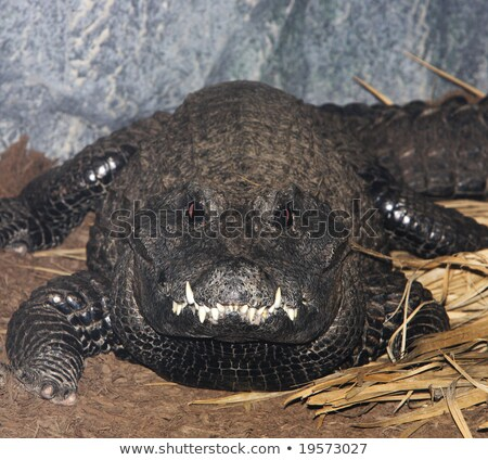 west african crocodile close up stock photo © davemontreuil