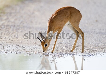 Steenbok (Raphicerus campestris) Stock photo © dirkr