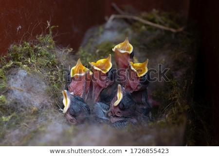 Kuikens nest vier jonge vogels Stockfoto © Lightsource