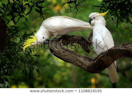 Sulphur-crested Cockatoo (Cacatua galerita) Stock photo © dirkr