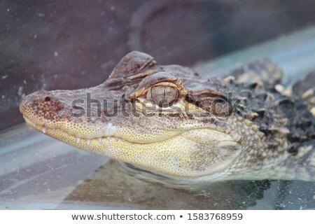 Crocodilo jacaré olhos olho dentes Foto stock © kirpad