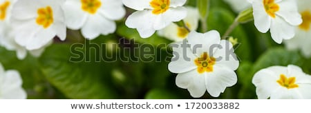 white primroses Stock photo © tatiana3337