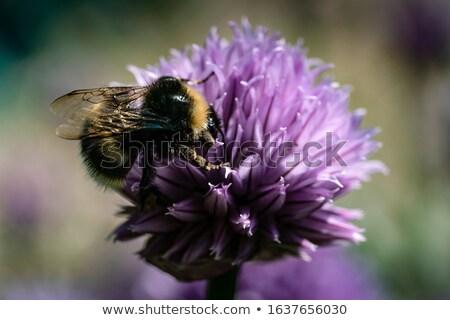Púrpura cebollino flor macro foto flor Foto stock © Julietphotography