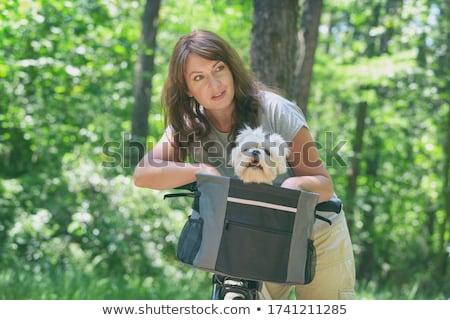 pet maltese dog stock photo © godfer