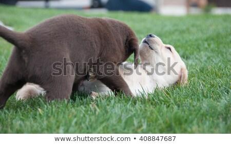 Labrador kutyakölyök eszik étel ivóvíz kívül Stock fotó © JFJacobsz