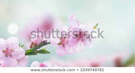 Cherry · Blossom · ярко · веточка · розовый · весны - Сток-фото © olandsfokus