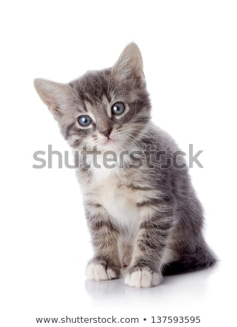 Gris chaton belle regarder sur confort Photo stock © suemack