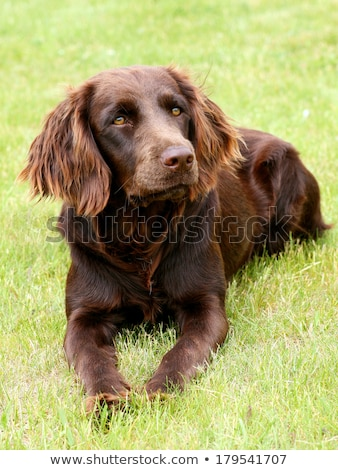 The portrait of German Spaniel on a green grass lawn Stock photo © CaptureLight