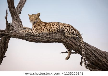 Leopard in big tree Stock photo © master1305