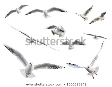 Flying seagull  Stock photo © bbbar