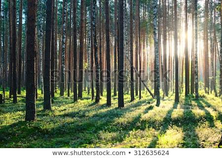 estate · abete · rosso · foresta · percorso · natura · stagione - foto d'archivio © neirfy
