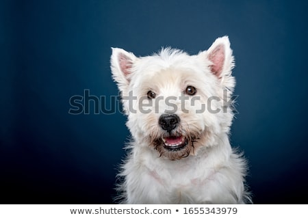 west highland white terrier portrait in a dark studio stock photo © vauvau
