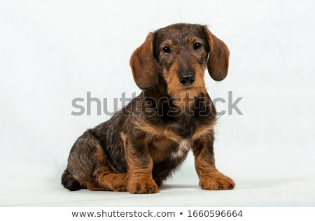 Foto stock: Cachorro · cabelo · bassê · retrato · branco · foto