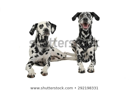 two cute dalmatians lying in white background photo studio stock photo © vauvau
