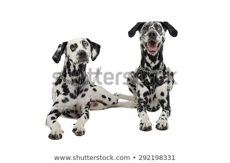 two cute dalmatians lying in white background photo studio Stock photo © vauvau