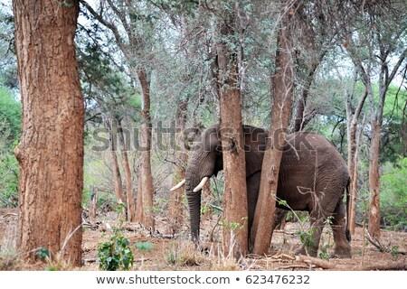 Elephant hiding behind a tree. Stock photo © simoneeman