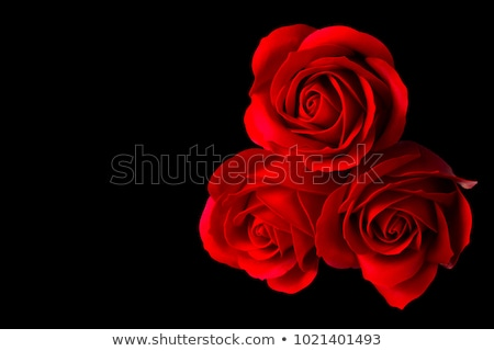 Red rose flower with dew in black background Stock photo © Valeriy