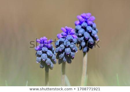 Hiacynt wrażenie malutki kwiat makro Zdjęcia stock © Zela