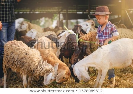 Young boy feeding a sheep Stock photo © IS2