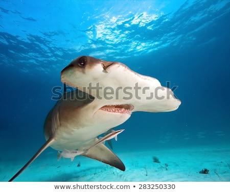 Kalapács cápa víz illusztráció hal háttér Stock fotó © bluering