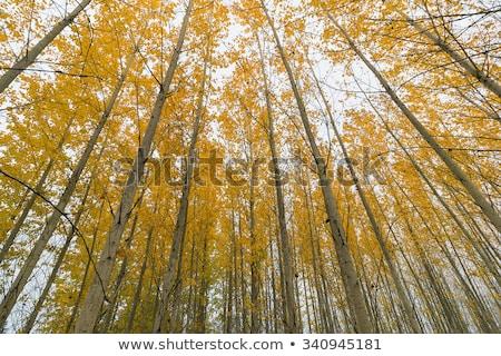 Poplar Tree Forest in Oregon during Fall Season Stock photo © davidgn