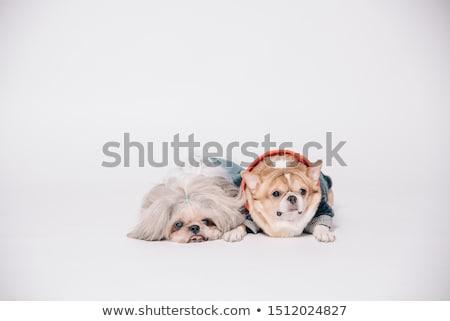 beyaz · hayvan · arkadaş · oturma · evcil · hayvan · atış - stok fotoğraf © cynoclub