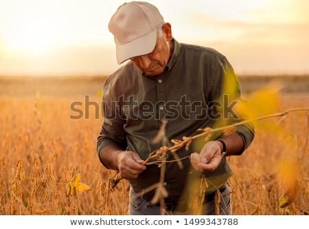 Jeans soja plantas campo soja Foto stock © simazoran