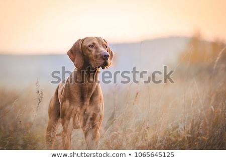 Képzett kutya naplemente illusztráció sziluett vicces Stock fotó © adrenalina