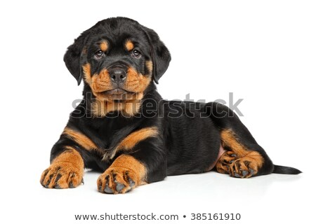 Chiot rottweiler studio blanche chien Photo stock © cynoclub