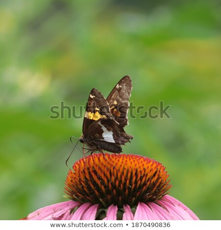 Coneflower and Skipper Butterfly Stock photo © macropixel