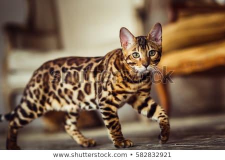Maakt · een · reservekopie · onbehaard · kat · witte · dier - stockfoto © cynoclub