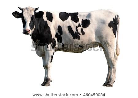 cow isolated on white stock photo © marcogovel