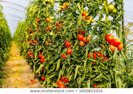 Tomato in the row Stock photo © Ronen