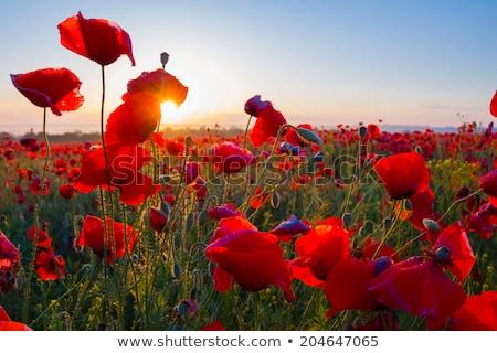Broto vermelho papoula campos flor paisagem Foto stock © ivonnewierink