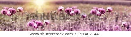 purple poppies stock photo © hofmeester