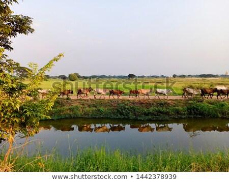 vee · lopen · water · twee · jonge · koeien - stockfoto © olandsfokus
