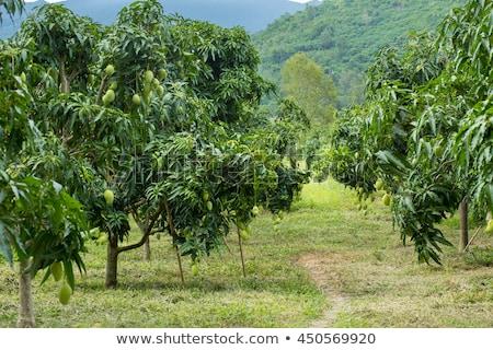 Köteg zöld érett mangó fa kert Stock fotó © art9858