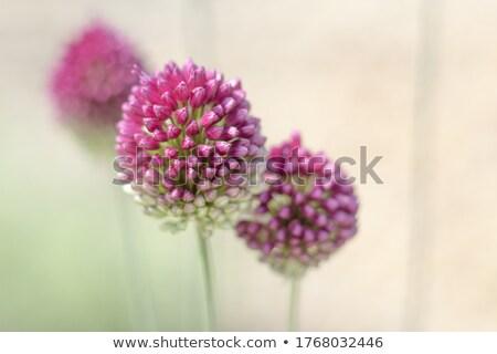drumstick allium flower bloom stock photo © enterlinedesign