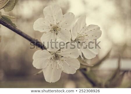 Bienen · Blume · Frühling · Jahreszeit · Natur - stock foto © ultrapro