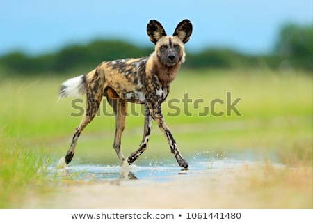 Pack of African wild dogs in the Kruger National Park Stock photo © simoneeman