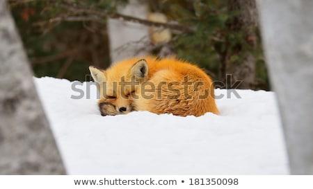 Vermelho raposa inverno ilustração madeira neve Foto stock © adrenalina