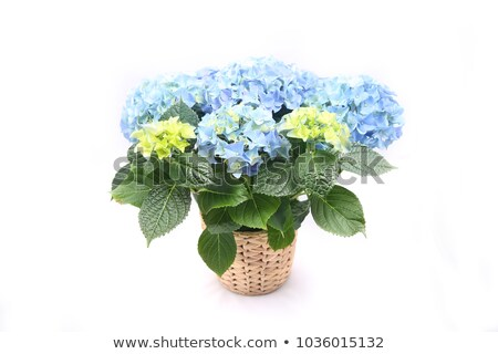 colorful hortensia detail Stock photo © prill