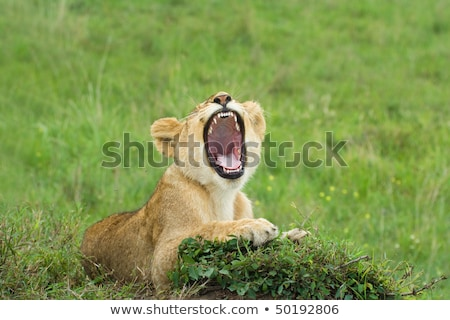 Lion cub yawning in the grass. stock photo © simoneeman
