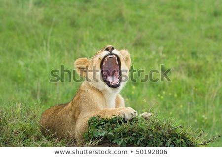 Oroszlán medvebocs ásít fű park Dél-Afrika Stock fotó © simoneeman