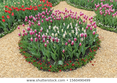 Glade of red and purple fresh tulips. Colorful tulips in the garden Stock photo © ElenaBatkova