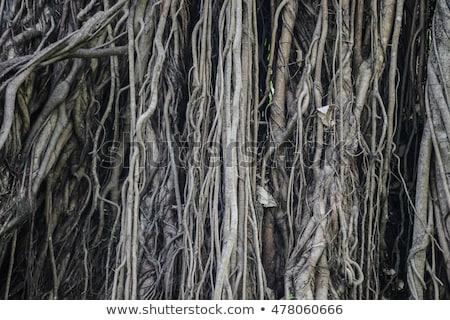 большой дерево корень джунгли удивительный Сток-фото © galitskaya