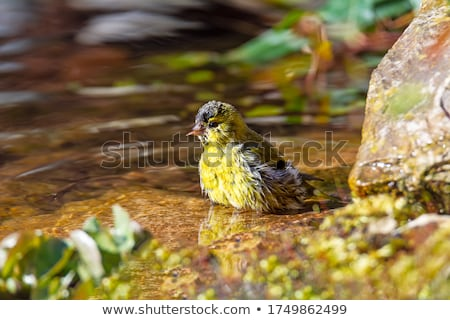 Male siskin bird taking a bath in the pond Stock photo © manfredxy