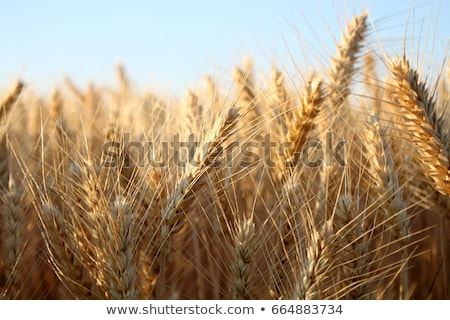 barley field Stock photo © prill